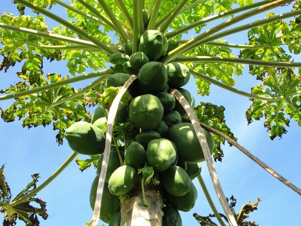 how to cut a papaya tree