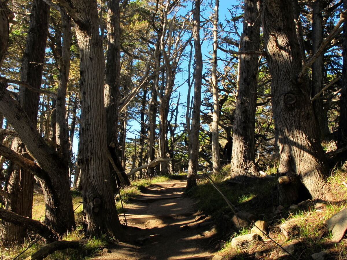 Point Lobos cypress