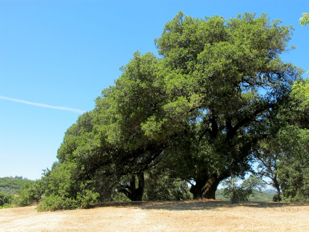 California oak trees