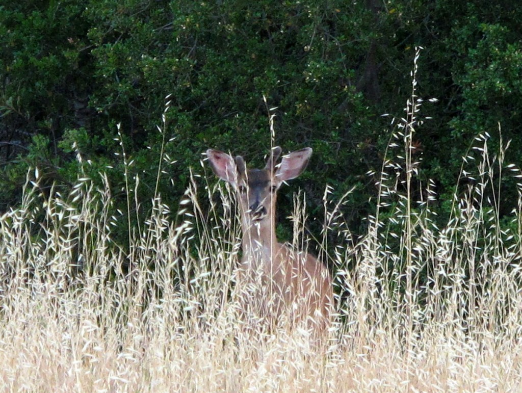 deer in California