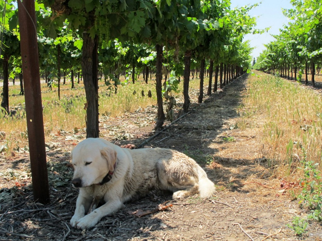Best wineries in Lodi