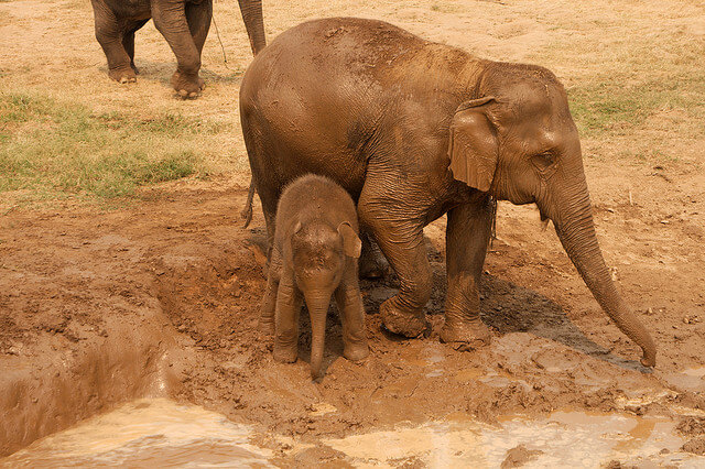 Instead of being taken away from their moms and submitted to abuse to train for elephant rides and performing tricks, babies stay with their moms and live freely at the park. Photo credit: Christian Haugen, Flickr.