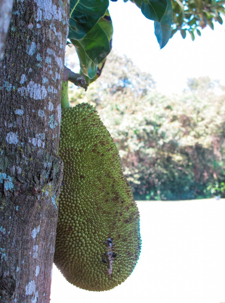 Jackfruit at Inhotim Art & Nature Park in Brazil | This Is My Happiness.com