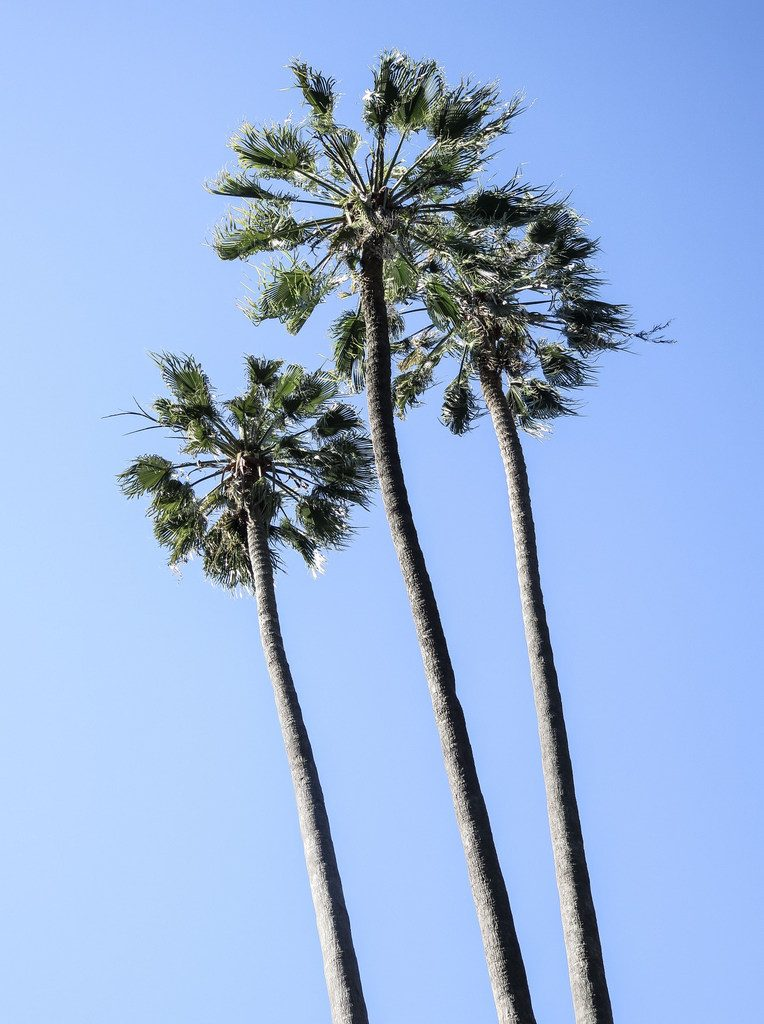 Palm trees in Sacramento