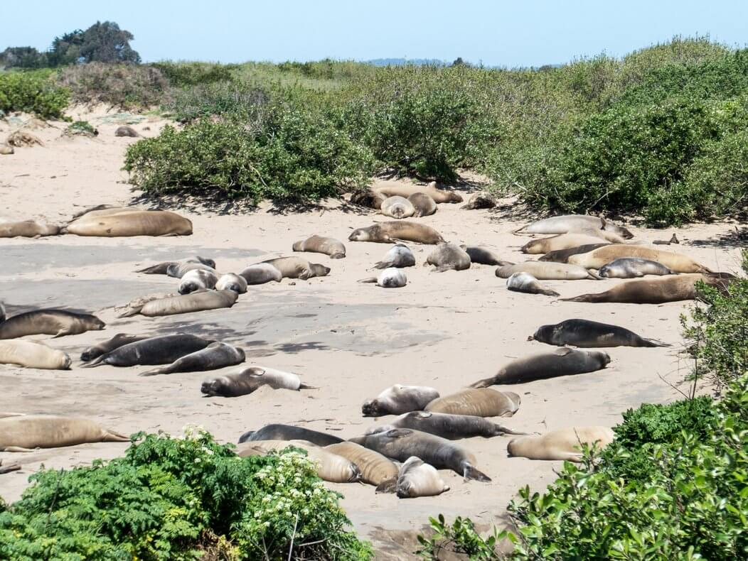 Where to see elephant seals in California