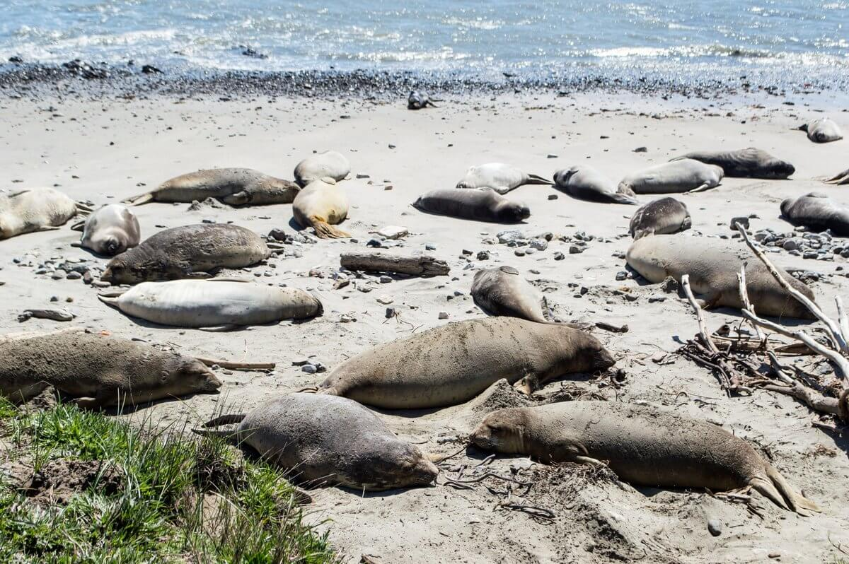 What to do in Northern California: Elephant seals at Ano Nuevo State Park