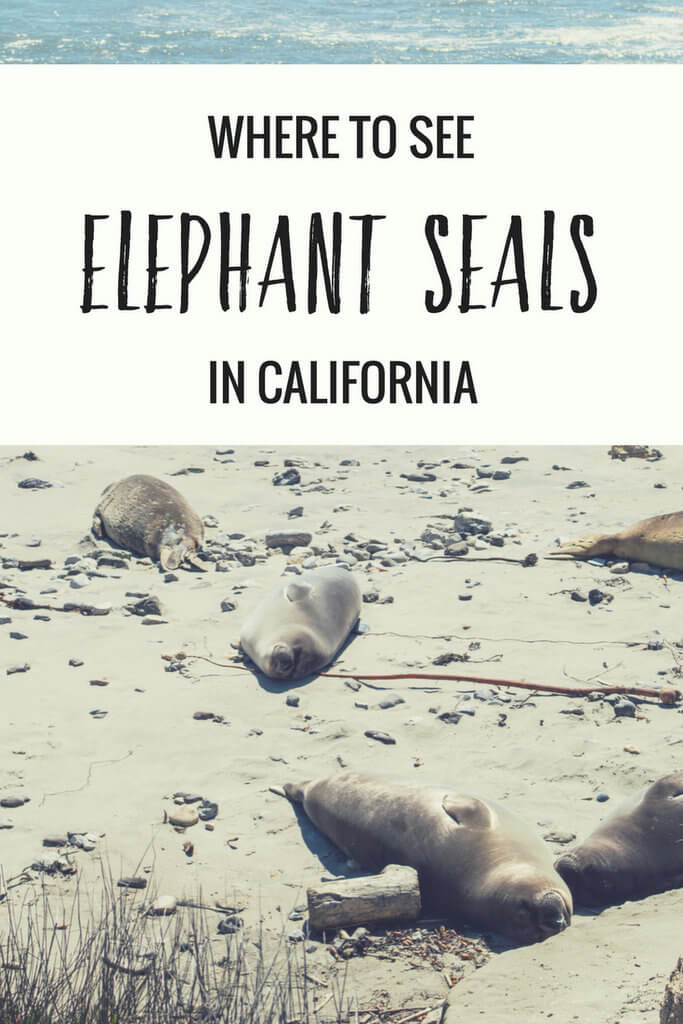 Where to see elephant seals in California: Ano Nuevo State Park