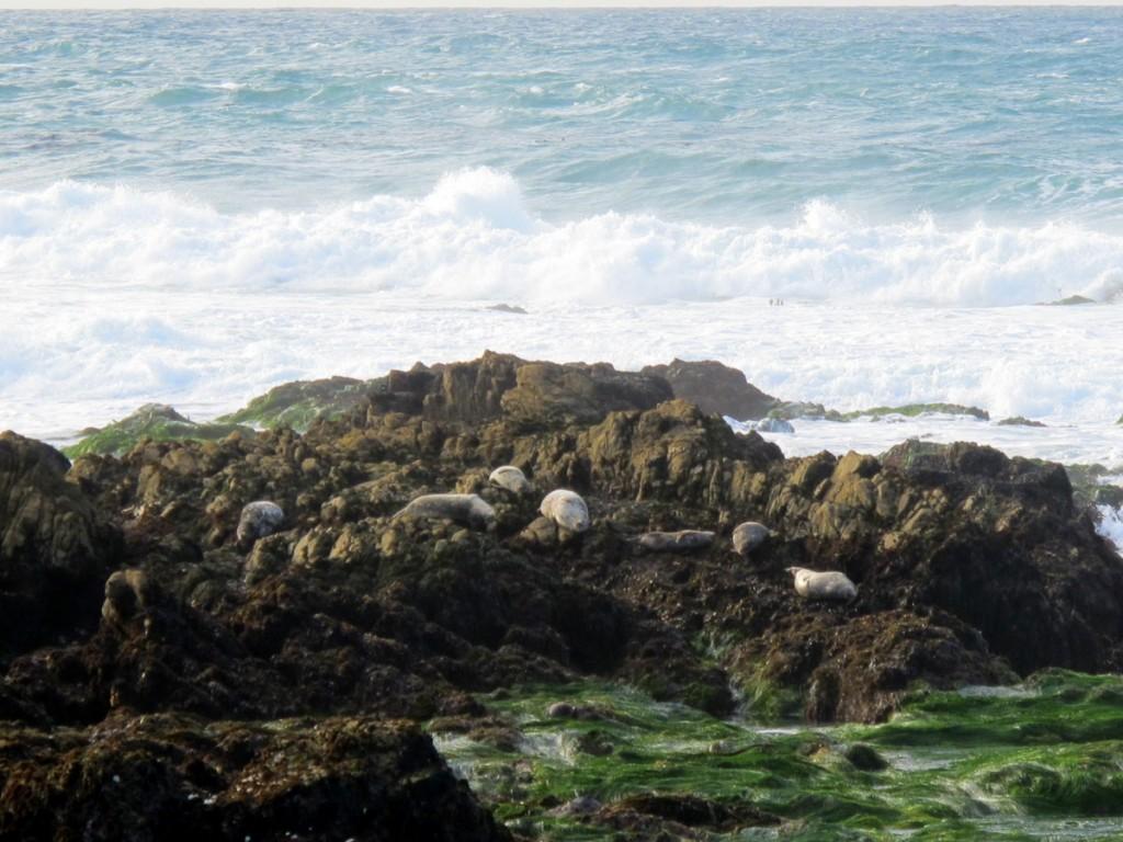 Monterey seals