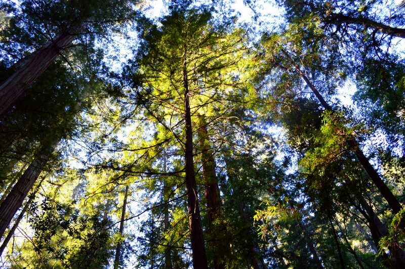 Where to see redwoods near Sonoma