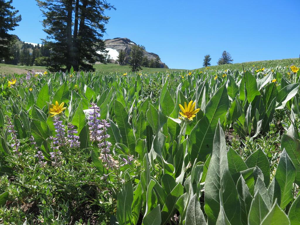 Lake Tahoe wildflowers