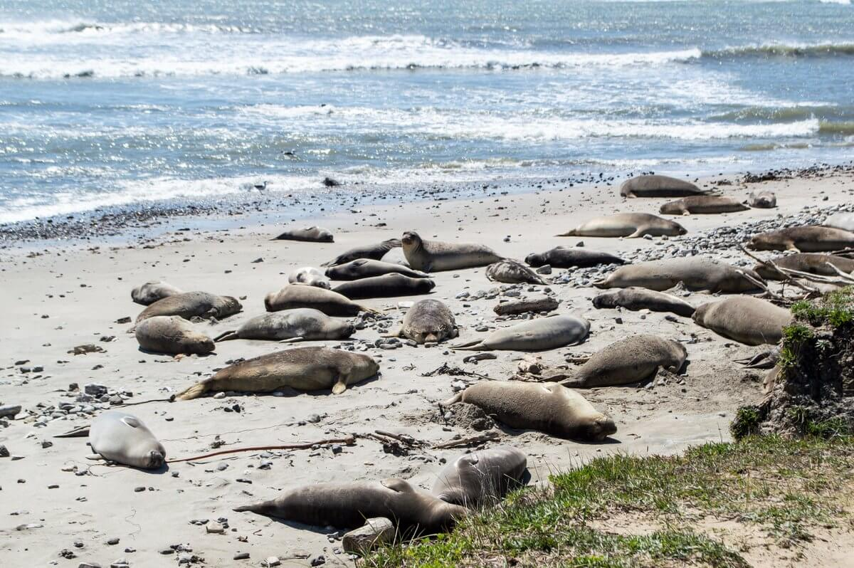 Where to See Elephant Seals: Año Nuevo State Park