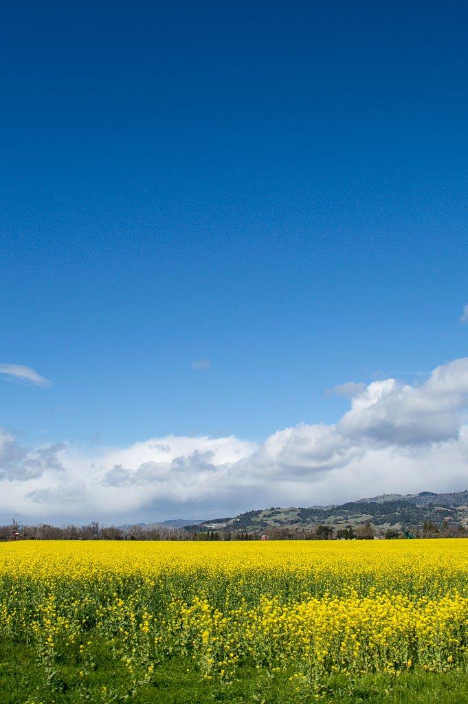 mustard vineyards